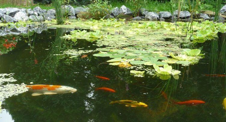 De grote kleine vissen verhuizing update van de vijvers for Natuurlijke vijver zonder pomp