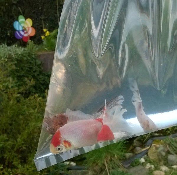 visjes voor de vijver