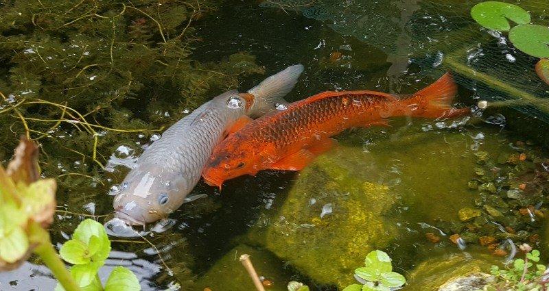 visje voor de vijver