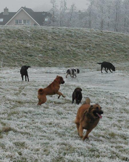 hondjes-bij-ijs